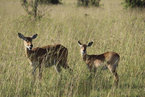 ugandan cobs